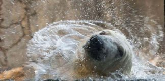 Polar Bear - Hogle Zoo