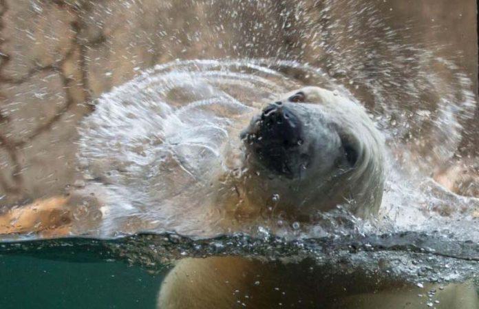 Polar Bear - Hogle Zoo